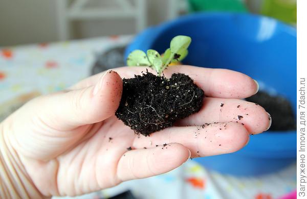 Растение готово к пересадке