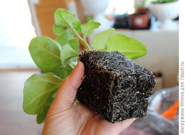 Развитие корневой системы на день от посева