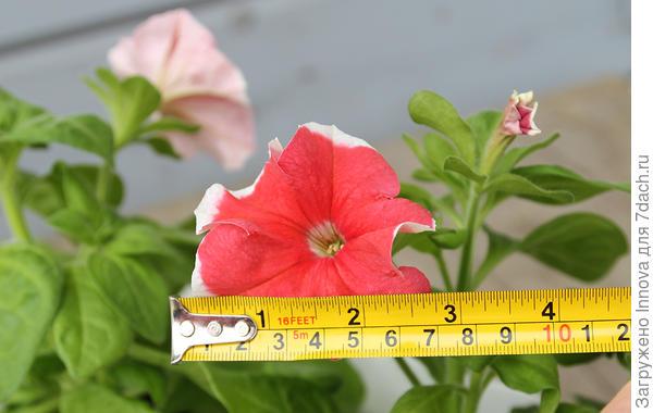 Петуния Александра: размер цветка