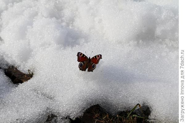 Бабочка на снегу