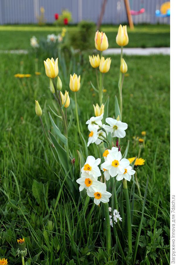 Многоцветковые тюльпаны и многоцветковые нарциссы