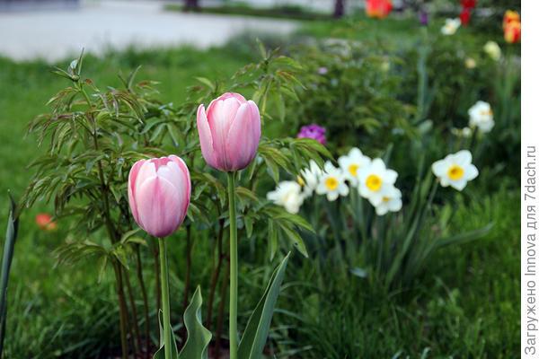 Тюльпан на фоне нарциссов