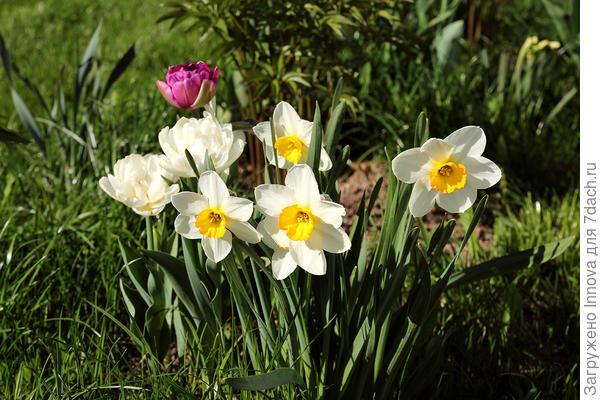 Нарциссы на фоне тюльпанов