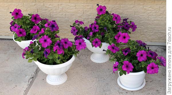 4 комплиментунии лиловые