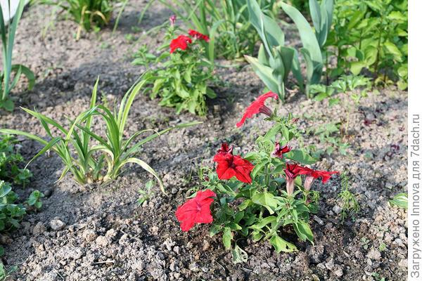 Две петунии Марко Поло красная в грунте