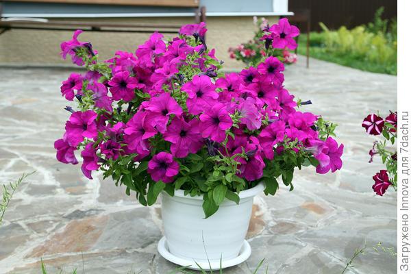 Мой любимый кустик комплиментунии лиловой 24 июля