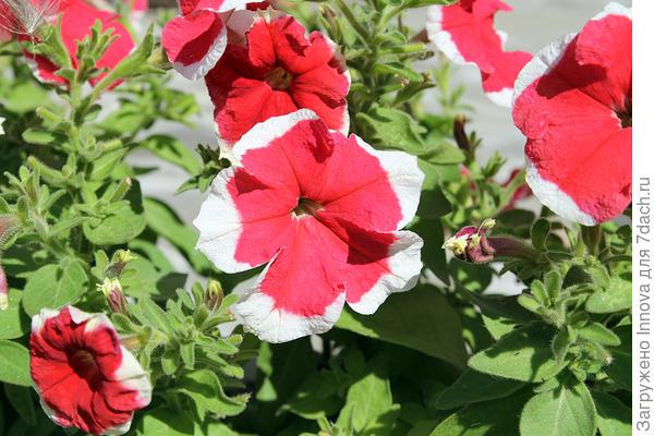 Цветок с белой каймой