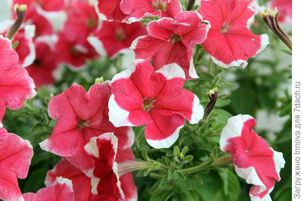 Цветы Александра F1