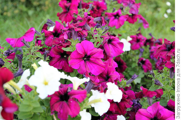 Цветы Комплиментунии Бургунди