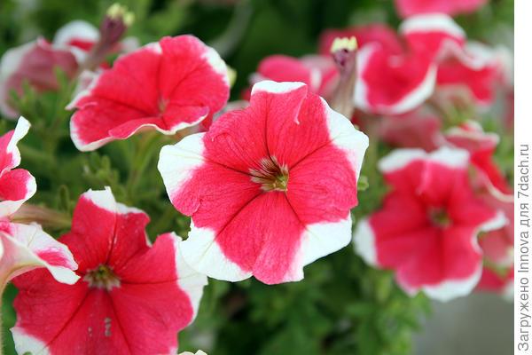 Цветы петунии Александра F1