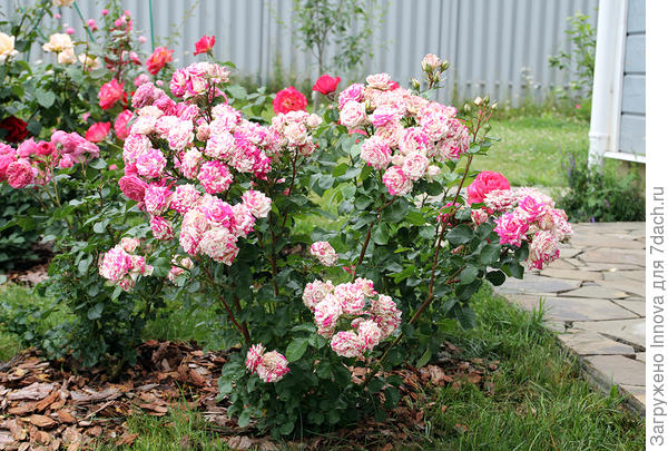 Роза Флешинг первое цветение