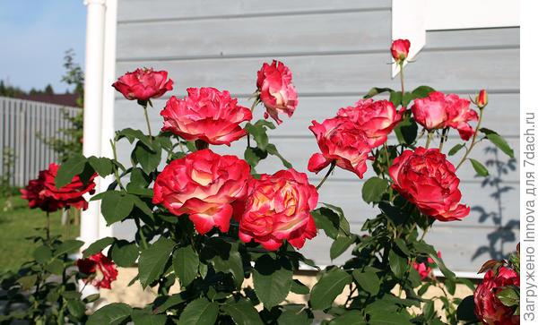 Роза Дабл Делайт второе цветение
