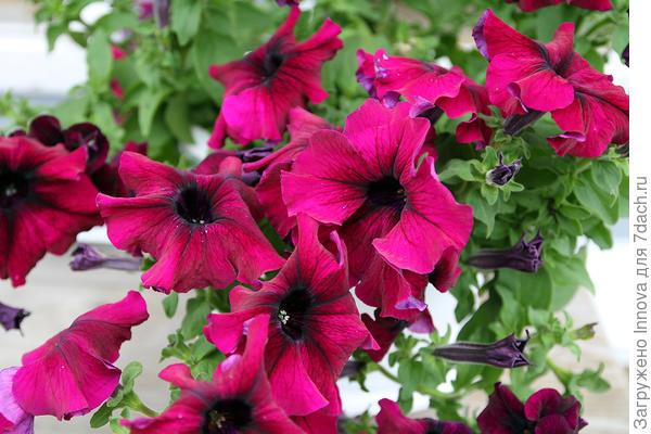 Цветы Комплиментунии Бургунди F1
