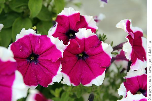 Цветы петунии Ольга