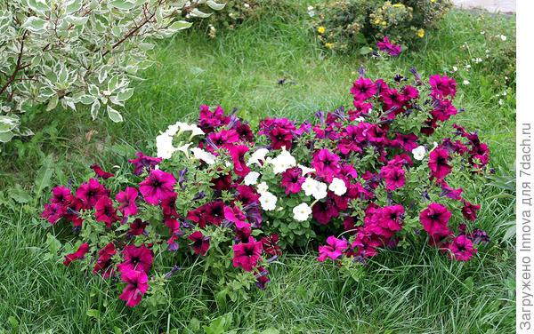 Цветение в августе в грунте. 20 августа