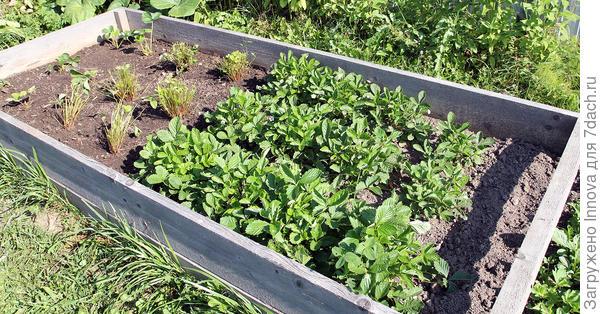 19 августа. Слева рубленные и обстриженные кусты из первого посева. Справа кустики из второго посева.