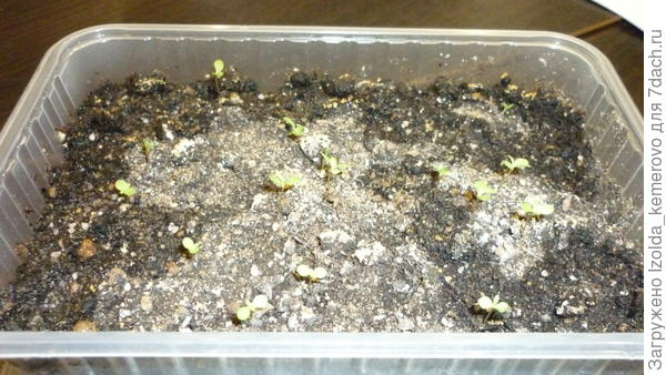хризантема, около месяца от роду