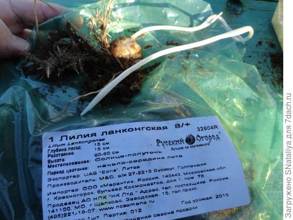 росток луковицы 26 см