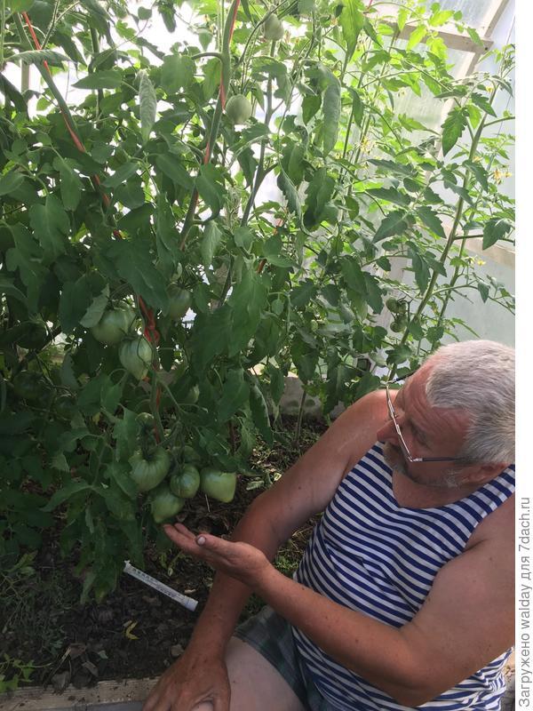 Да будут томаты, будут! Куды же им деться. Но, жарковато в теплице, когда солнце светит, под 40; завязи иногда осыпаются...