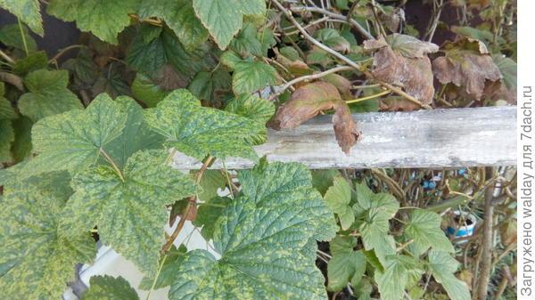 сначала красно-коричневая кайма на листьях (летом), а осенью - как на фото, да ещё появились жёлтые точки на здоровых (вроде) листьях.