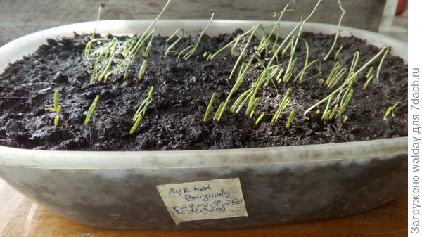 """Обращаю внимание на качество семян: это всходы семян из Майами; посажены для подстраховки 27.02, т.к. на наши """"надёжа как на ёжа..."""". А фото от 09.03."""