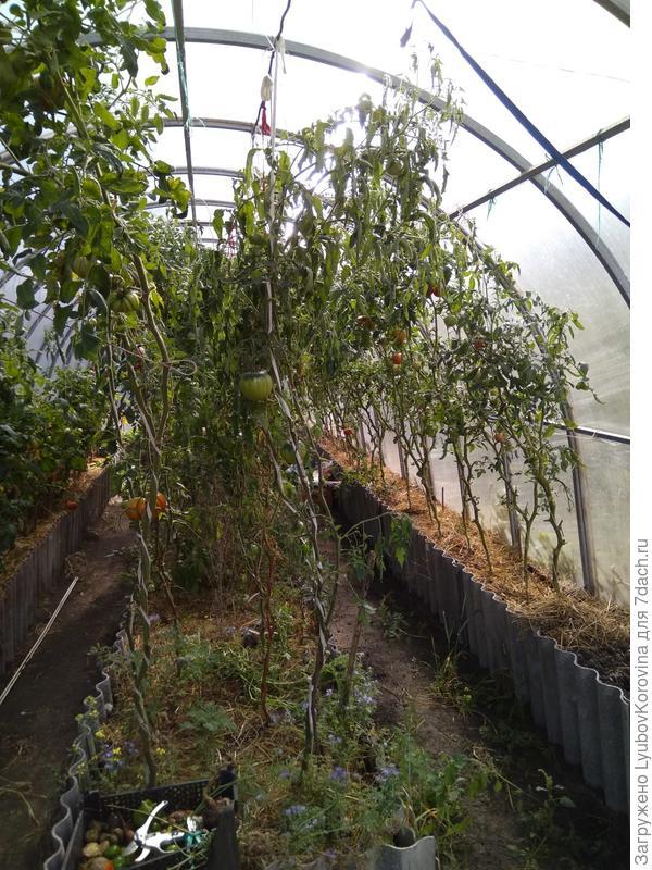 томаты Сибирского сада