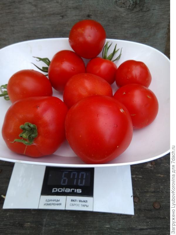 томат №3