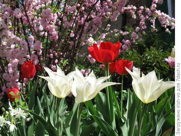 тюльпаны под кустом миндаля трехлопастного
