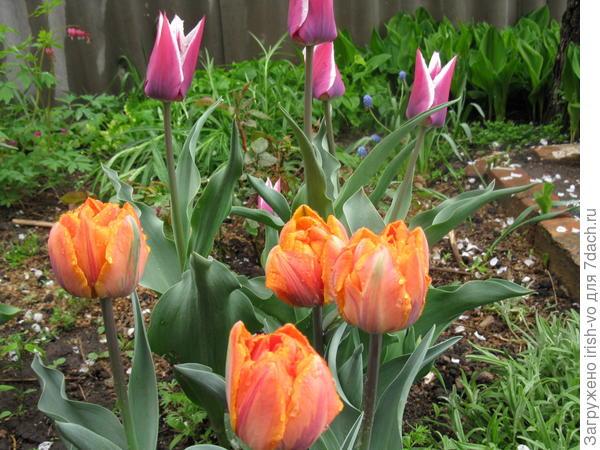 мои красавцы рядом с розой