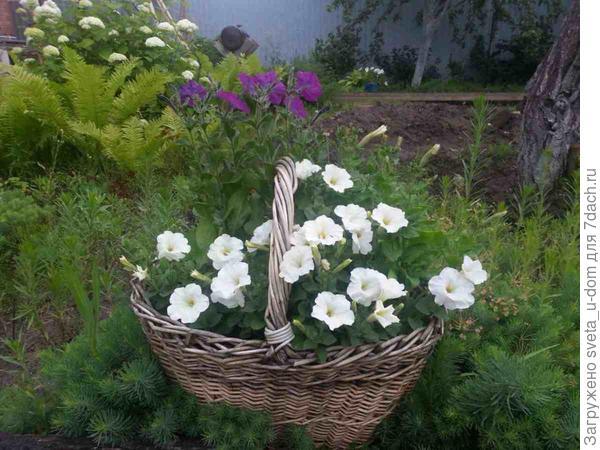 Белая каскадная а на втором плане обычная фиолетовая, зато она благоухает, как ни один шикарный сорт)