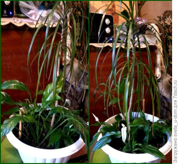 Драцена и спатифиллум. Слева пересаженый 2года назад справа на фото подсаженые недавно 3кустика с цветом.