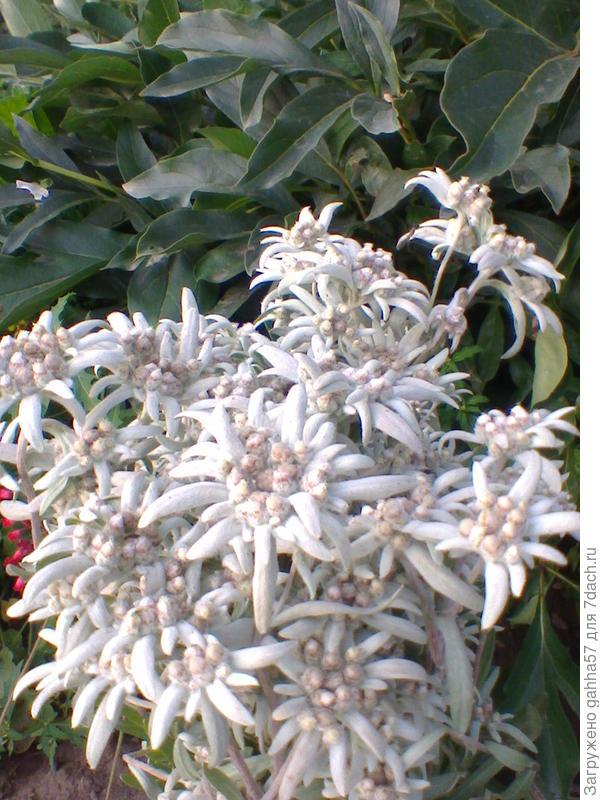 Эдельвейс из семян зацвел в первый год
