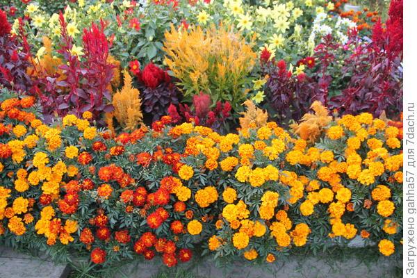 Бархатцы самые благодарные цветы
