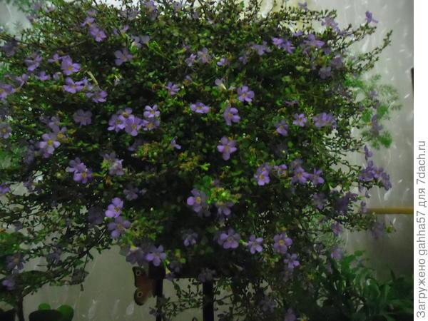 Бакопа дома цветет до конца ноября