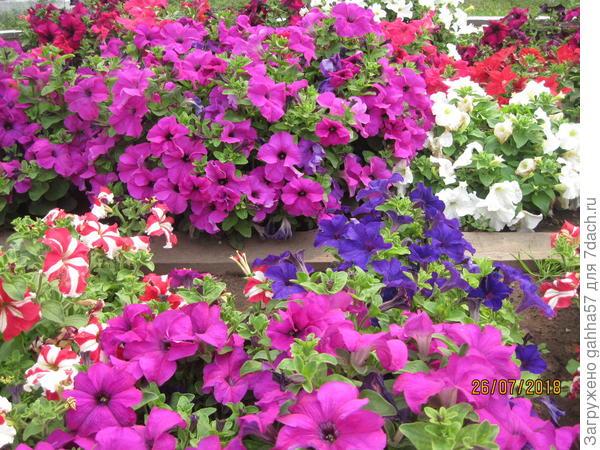 Комплиментуния  лиловая  полностью соответствует описанию с крупными цветами и суперобильным цветением.