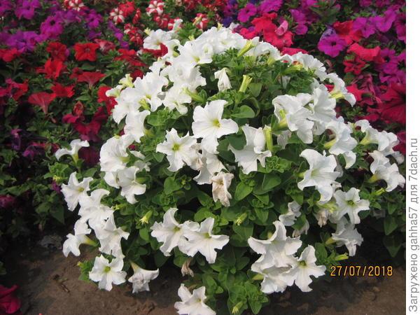 Комплиментуния  белая самая стойкая , кустик очень стойко держит форму при любой погоде, мое восхищение!