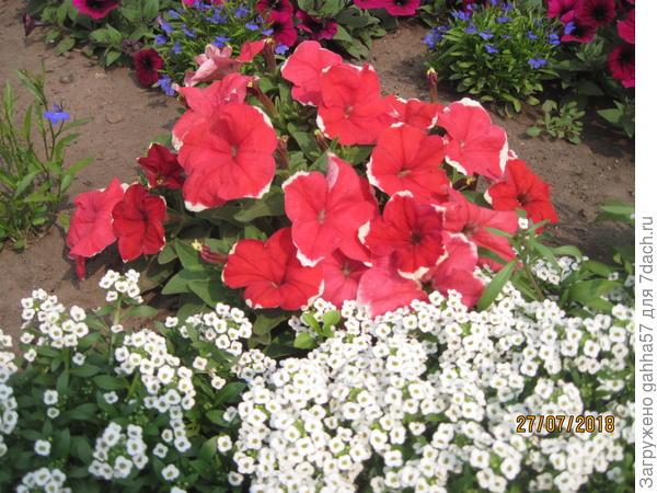 Петуния Пикоти КраснаяF1 многоцветковая, семена фирмы Аэлита