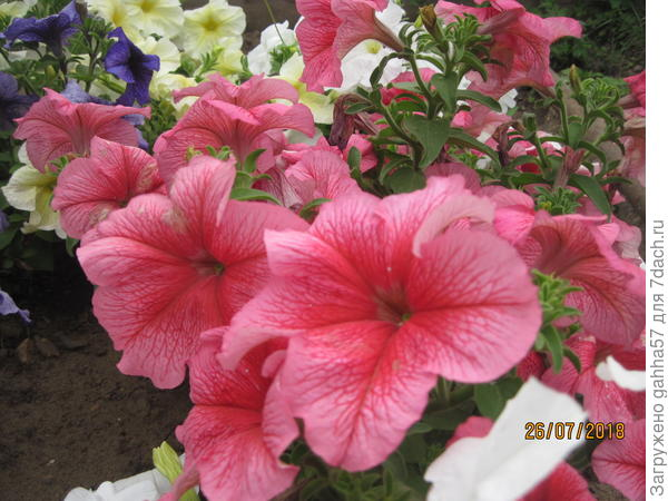 Петуния крупноцветковая F1 Красный Барон, очень красивая, Рано зацветает,держит форму, полностью соответствует описанию,яркие яркие  крупные цветки густо покрывают куст.