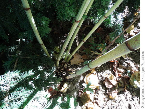 стволы растения