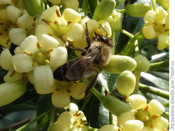 пчела на смолосемяннике .