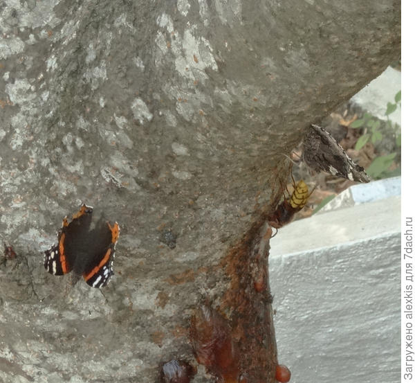 бабочки и шершень