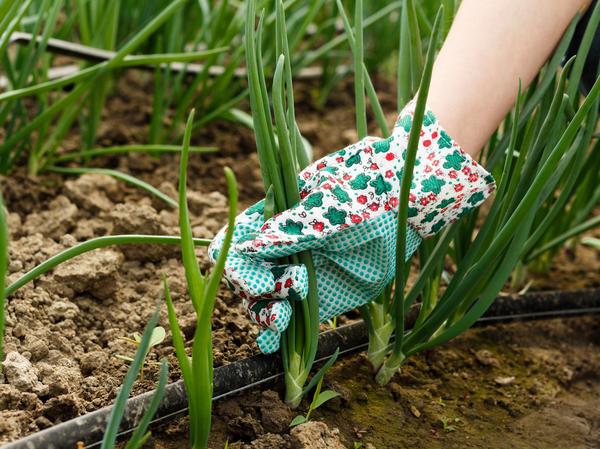 Под зиму сажают обычно лук «на перо», чтобы радовать себя по весне свежей зеленью
