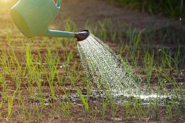 Для правильного развития луку нужна влага
