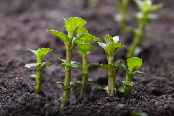 Молодые ростки мяты