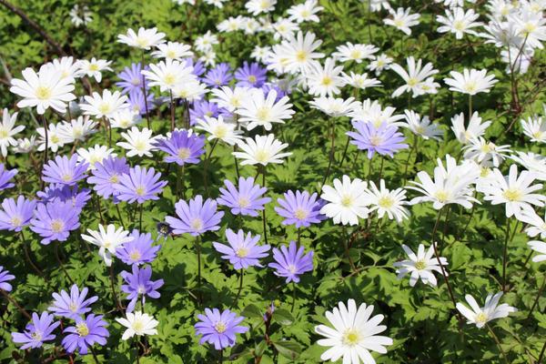 Анемона нежная (Anemone Blanda)