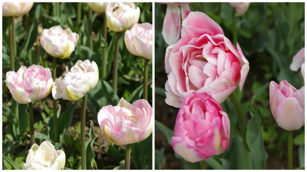 Тюльпан садовый сорт Angelique