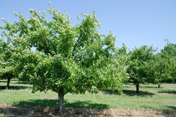 Сливовые деревья