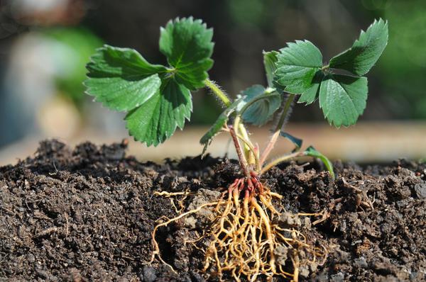 У качественной земляничной рассады должна быть здоровая листва и хорошо развитая корневая система