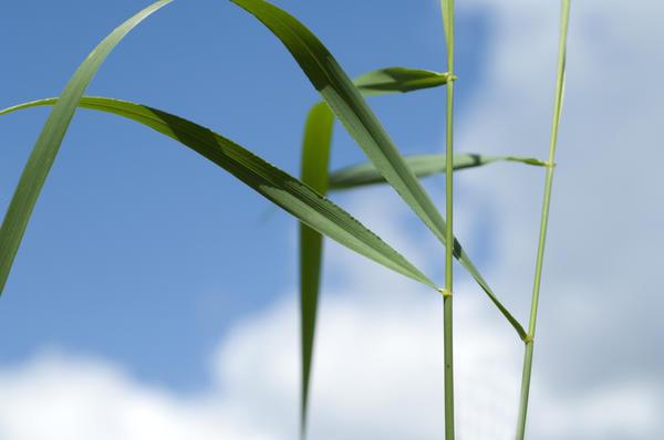 Пырей — светолюбивое растение
