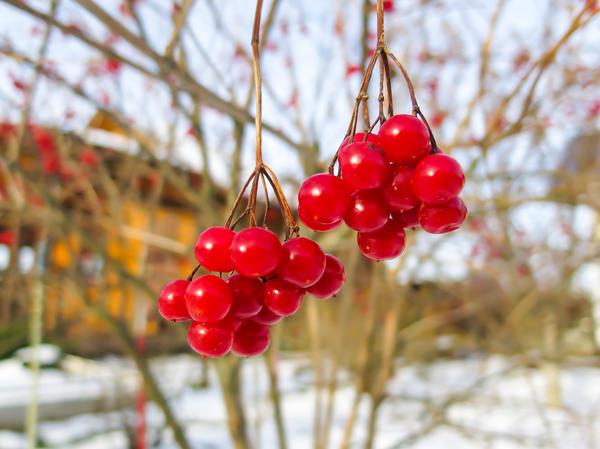 Плоды могут висеть на дереве до выпадения снега
